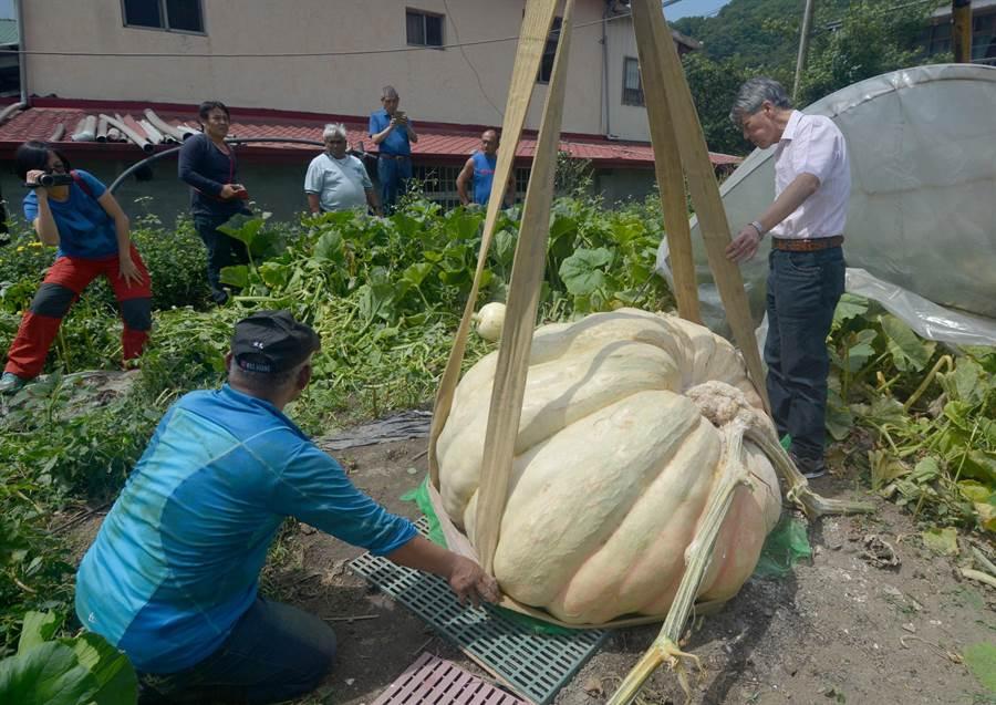 800斤大南瓜採收吊運過程。(沈揮勝攝)