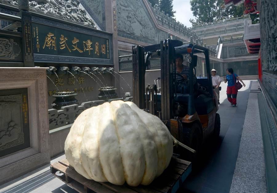 800斤大南瓜運抵日月潭文武廟,並利用堆高機移往月老寒拾殿。(沈揮勝攝)