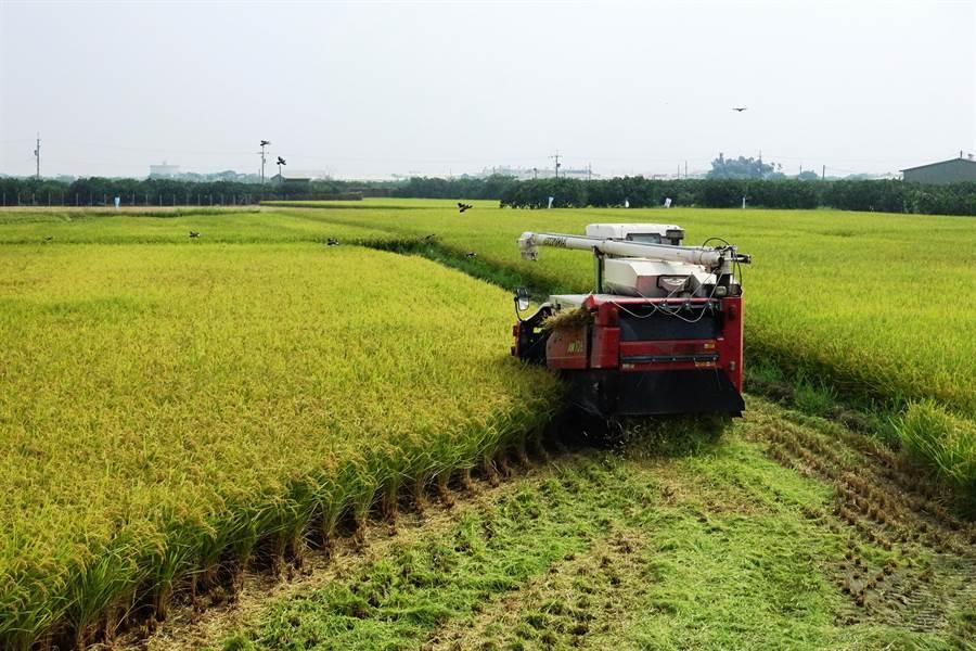稻子成熟,稻農聞雨色變,氣象局的預報雖可能不準,但寧可姑且信之。(周麗蘭攝)