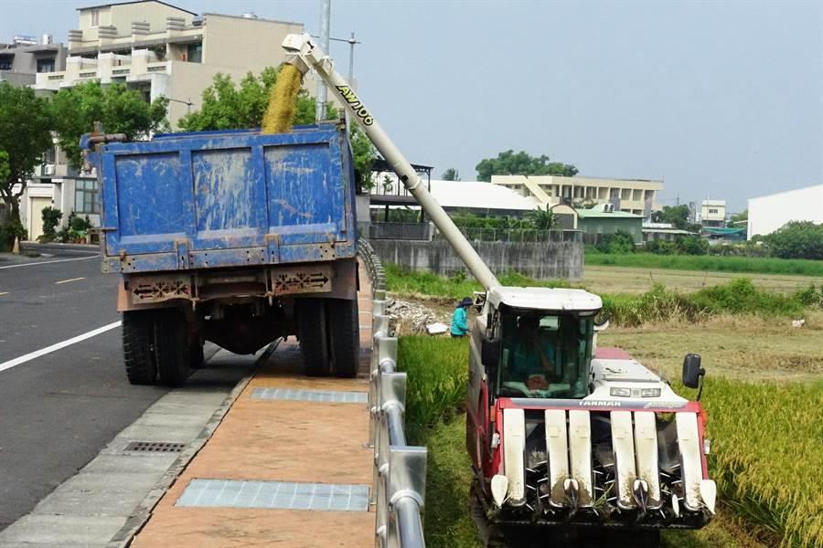 農民近日搶收稻穀,雖價格低,但落袋為安。(周麗蘭攝)