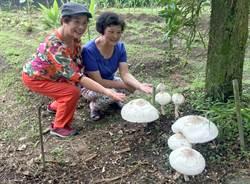 超大野菇秀色可餐?日月潭驚見毒綠褶菇