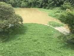 大雨來又生 竹市青草湖上游再現布袋蓮草原