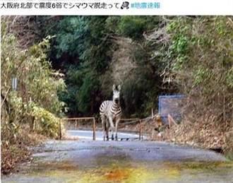 大阪地震後「斑馬逃跑了」等假消息頻傳