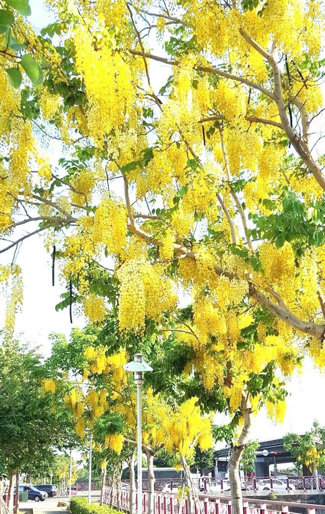 現在正值花季的阿勃勒盛開,民眾可至南區中興大學園道、西區梅川園道欣賞阿勃勒「黃金雨」。(盧金足攝)