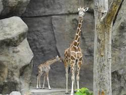 从4万锐减至9千只 长颈鹿很可能从地球绝迹