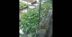 嚇死人!陽明山住家2巨蛇纏一起 壓毀庭院菜園
