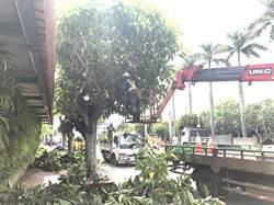 防汛期!中市啟動9000多棵行道樹修剪