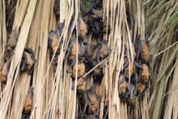 高頭蝠造訪東石 林管處直播呈現