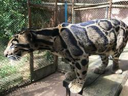 台灣首例 壽山動物園加入國際雲豹保育合作計畫