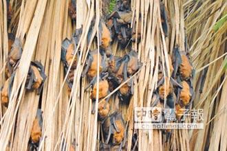 鰲鼓溼地 夏季可賞高頭蝠