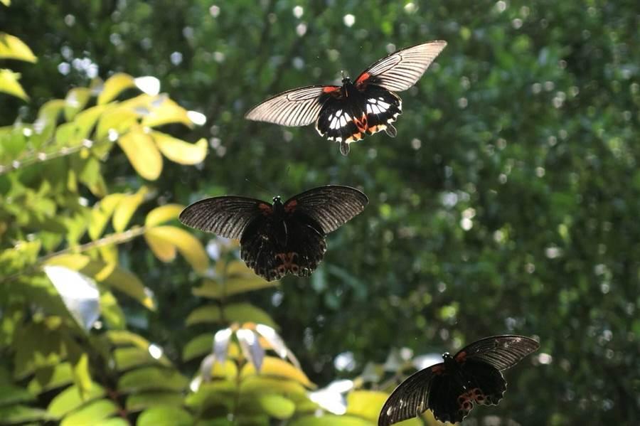 清華蝴蝶園復育百種珍貴蝶類,吸引大批愛蝶人士一睹生態奇觀。(翻攝自清大校友服務中心粉絲團)