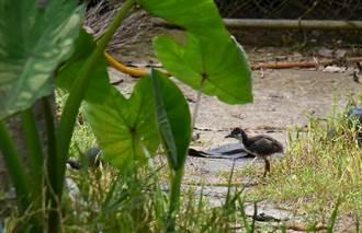 魚池鄉大雁村辦生態豐 白腹秧雞頻現蹤