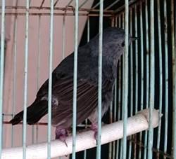 保育「鉛色水鶇」遭囚美聲呼救  森警聽音辨位救出