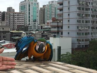 金剛鸚鵡迫降警分局 猛咬腳環找主人