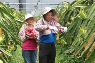 火龍果農疑似濫領補助?不疏花果、不套袋只為產小果
