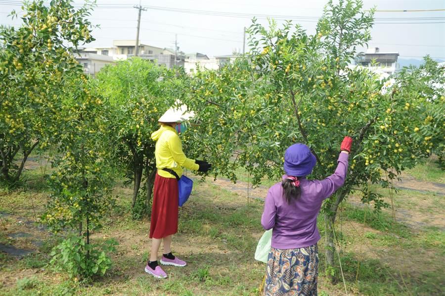 公館棗農趕在颱風抵達前搶收成熟紅棗。(何冠嫻攝)