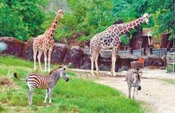斑馬寶寶復健 與長頸鹿一家親