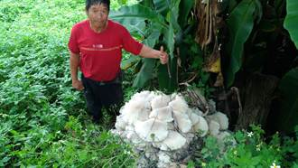 巨無霸野菇現蹤台中山區 百公斤巨菇吃不完還曬成乾