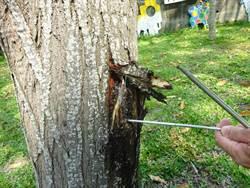 樹醫生出動!健診中市空品淨化區樹木
