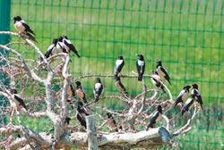恐擾椋鳥產卵 新疆公路停工1月