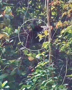 黑熊寶寶出沒 南安瀑布暫封閉