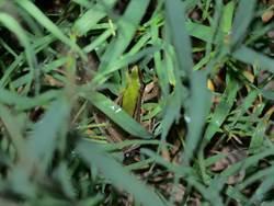 二級保育台北赤蛙 水雉生態教育園區現蹤