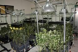 破億大麻園藏身鐵皮屋 驚見大麻花開得多又大