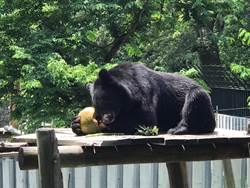 壽山動物園上演餵食秀 黑熊「波比」大啖椰子冰
