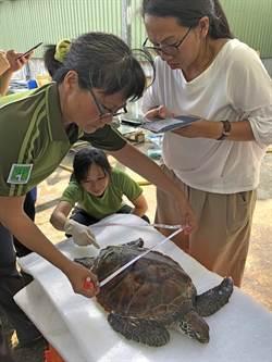 小海龜疑遭船槳擊傷  台金專家聯手搶救
