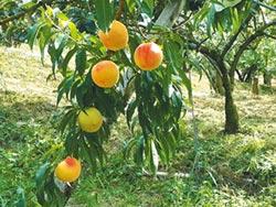 水蜜桃盛產 猴害比人禍嚴重