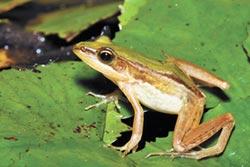 台北赤蛙 棲身水雉生態園區