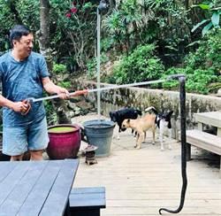 臺灣有眼鏡蛇是亂放生害的?李天鐸、蔡詩萍引論戰