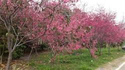 培養櫻花達人 台中市開設櫻花照護班