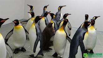 物種危機 國王企鵝野外族群數量縮小90%