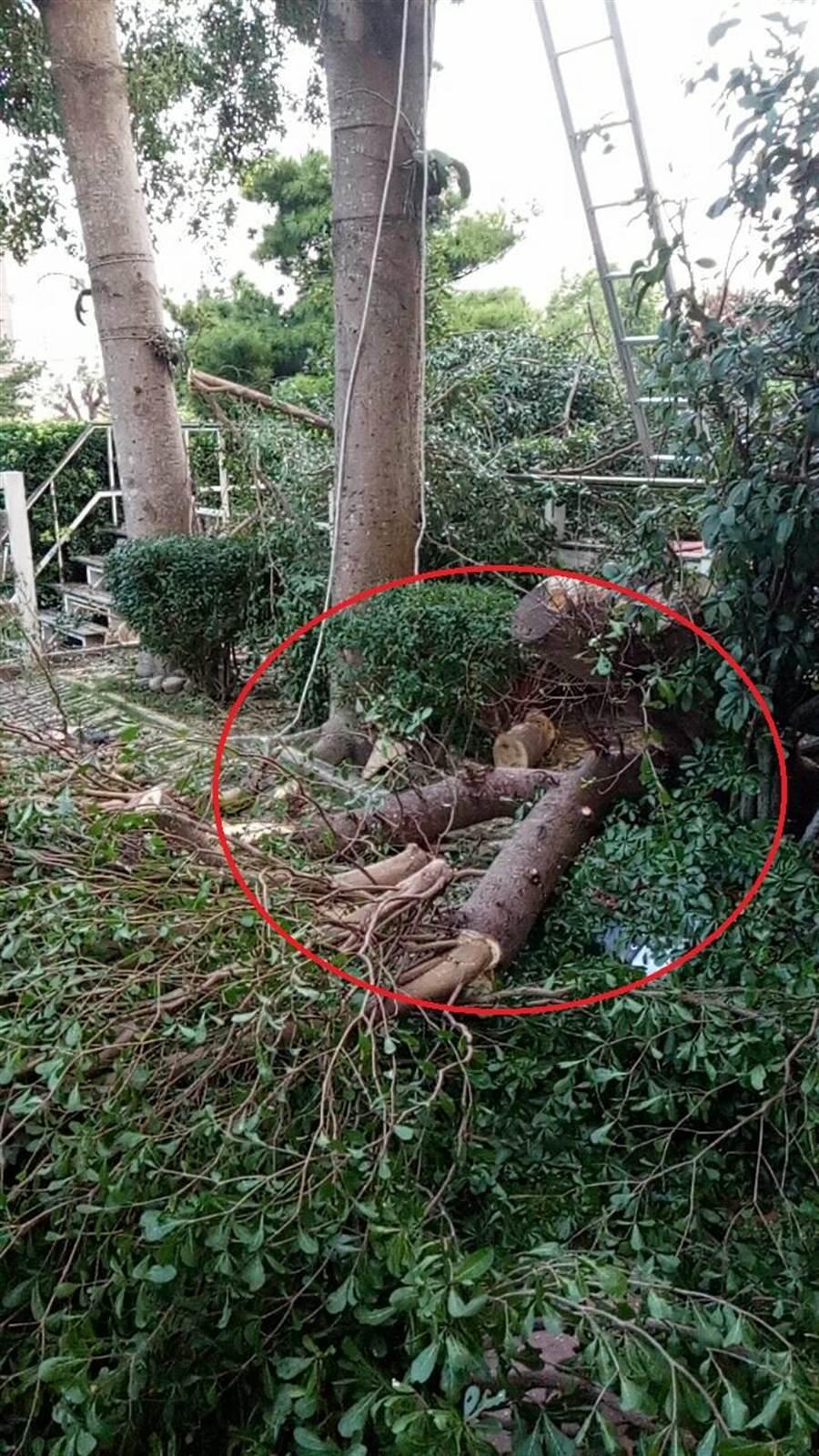 江男疑遭鋸斷樹幹壓住胸、腹部,造成窒息死亡。(王文吉翻攝)