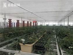 """高效節水微灌技術全國領先農民變身""""農業工人"""""""