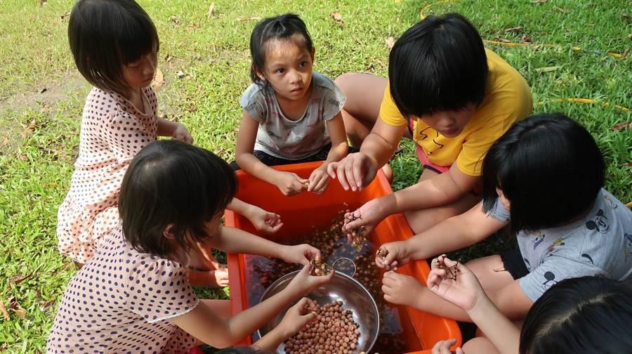 破布子為西拉雅傳統食物,西拉雅部落小朋友幫忙長輩剝破布子。(資料照片)