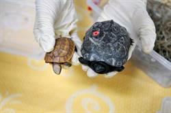 金門再查獲走私動物  赫見1、2級保育類烏龜