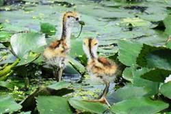 台南水雉夏季繁殖期調查 族群910隻創新高