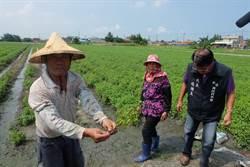 取消種植藥草補助 水林鄉藥草農生計受影響