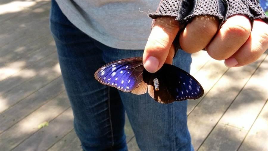 西拉雅風景管理處,特地在園區內打造紫斑蝶生態環境,供其群聚生長。(西拉雅風景管理處提供)