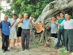 擲筊清水泥 搶救百年老榕樹