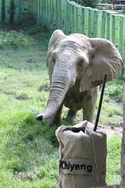 世界大象日 壽山動物園「溫柔的巨獸」傳遞保育觀念