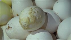 元山臭蛋事件 桃衛生局回收563公斤問題蛋液