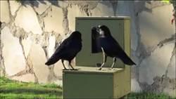 法國遊樂園「雇用」烏鴉撿垃圾