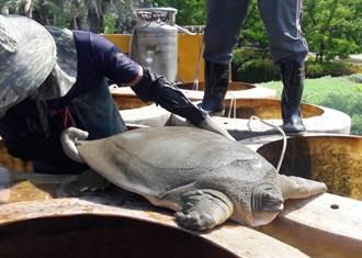 豐樂公園水池清淤發現保育類「鼋」 中市府保護安置