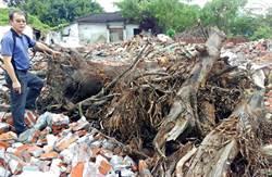 東港大鵬新村老樹半數遭砍 居民盼搶救剩下老樹