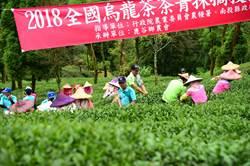 全國凍頂茶菁採摘競賽 鹿谷大崙山區展身手