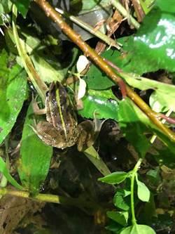 不噴除草劑奏效 金線蛙溝邊現蹤