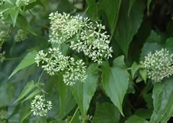 杜絕小花蔓澤蘭 9月起每斤5元收購